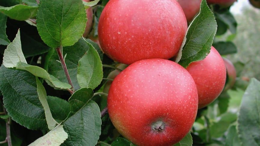 Aroma äpplen. Foto: Kimmo Rumpunen.