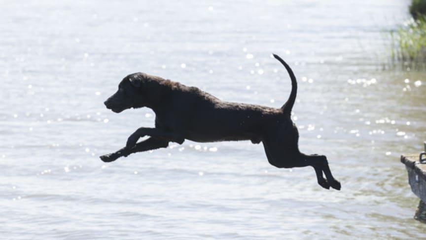 hund algblomning