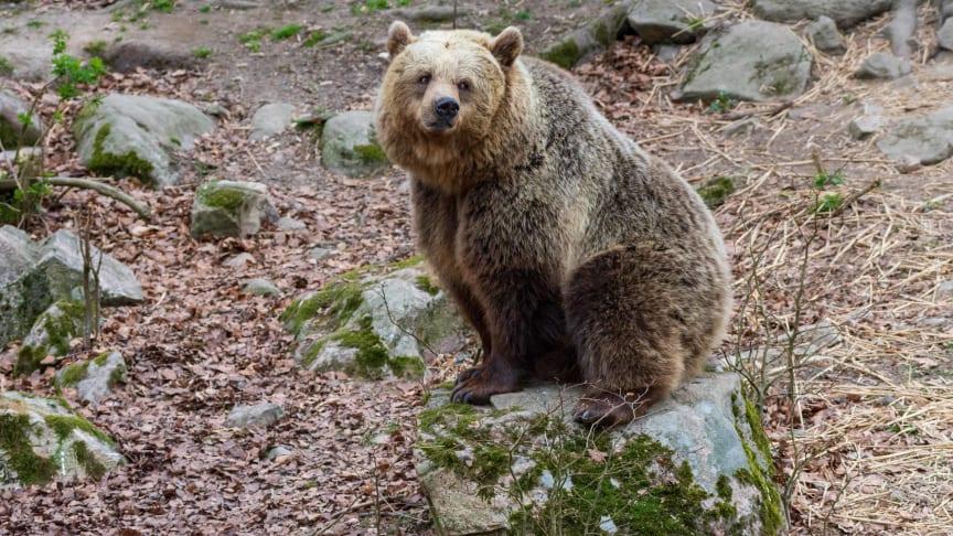 En lång höst och utebliven vinterkyla leder till att en av björnarna i Skånes Djurpark fortfarande är vaken.