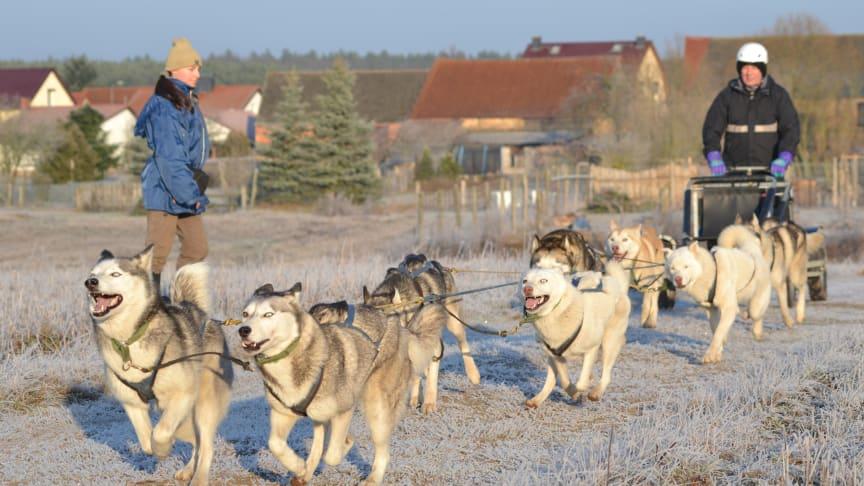 Mit Siberian Huskies kann man im Ruppiner Seenland tolle Ausflüge machen. Foto: Freizeit mit Huskies.