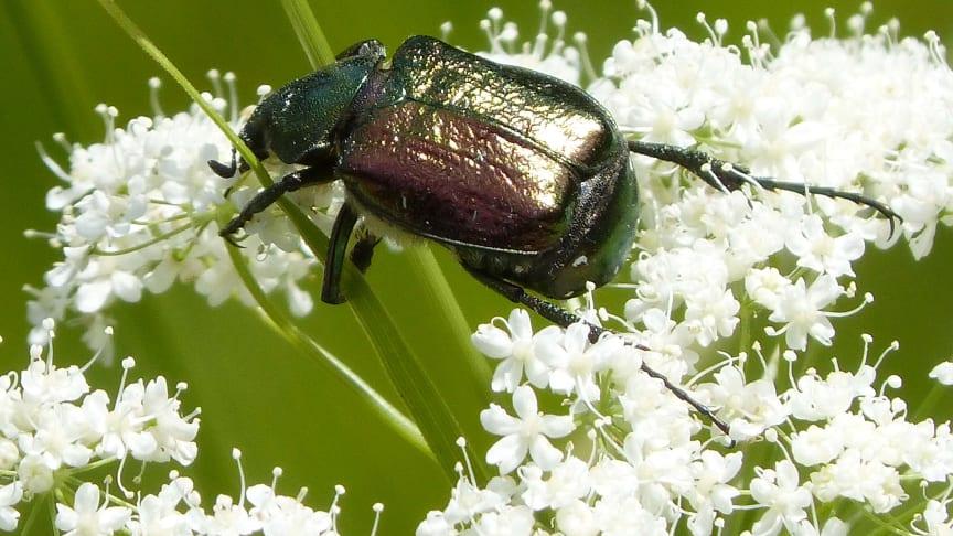 Foto: Grøn pragttorbist. En sjælden bille, der ville have godt af bedre naturforvaltning.