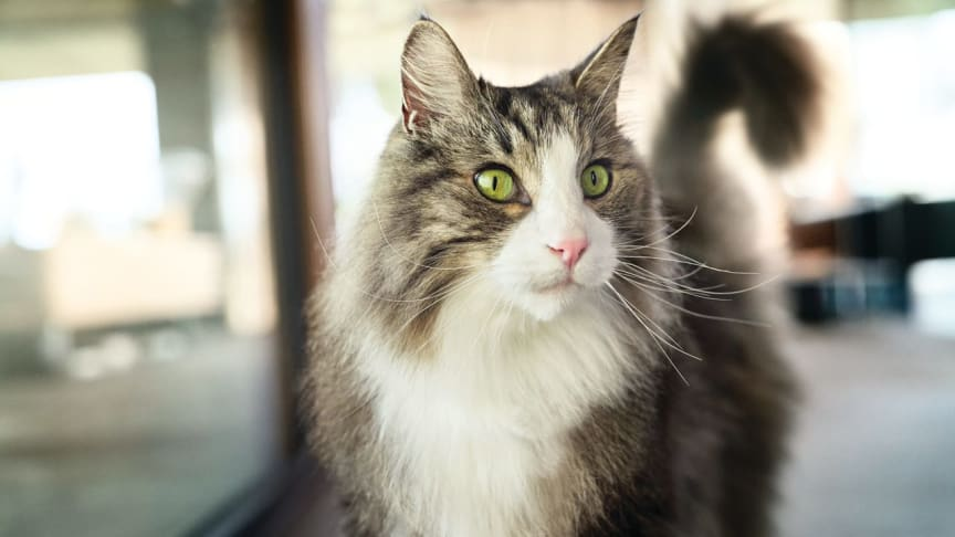 Forskare har utvecklat kattmat som kan lindra besvär för kattallergiker