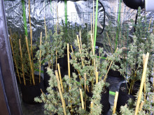 Cannabis factory and firearm found in Haringey