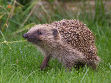 COMMENT: Disappearing hedgehogs show familiarity may be a curse