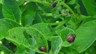 Grupp av Koloradoskalbaggens larver