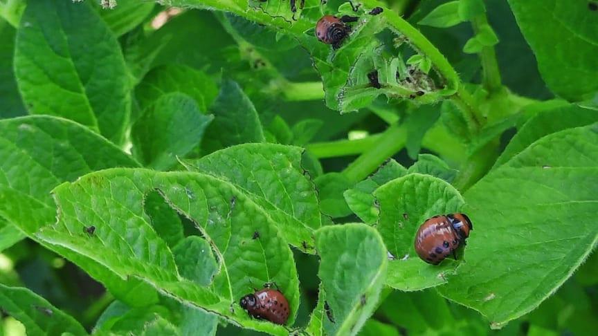 Vid stor förekomst kan potatisplantorna bli helt kalätna av larverna, med en avsevärt minskad skörd som följd. Foto Sofie Persson