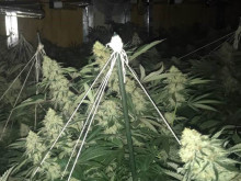 Dismantling cannabis factories in east London