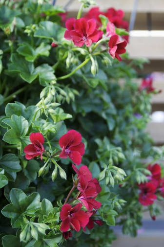 Hängpelargon Pelargonium peltatum Villetta-serien 'Burgundy'