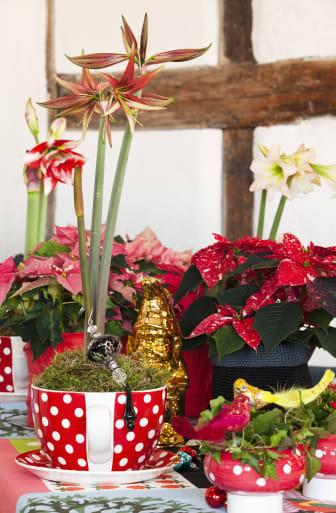 Amaryllis och julstjärna