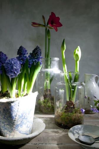 Hyacinter & amaryllis
