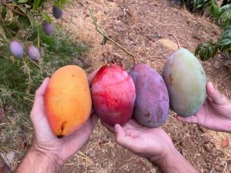 Mango - olika mognadsfaser.JPG
