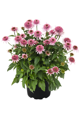 Echinacea Butterfy Kisses