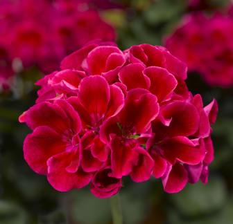 Pelargon Calliope Red Splash