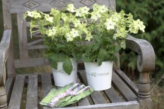 Blomstertobak 2