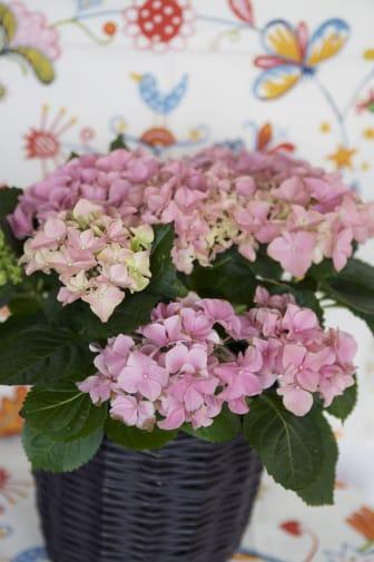 Hortensia i purpurfodral