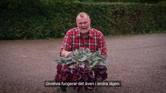Trädgårdsmästaren_tipsar_bladbegonia_ute_16x9.mp4