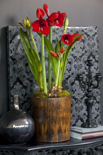 Röd amaryllis i kruka