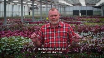 Trädgårdsmästaren tipsar bladbegonia 16x9.mp4