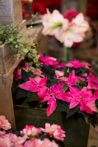 Julstjärnor i rosa.