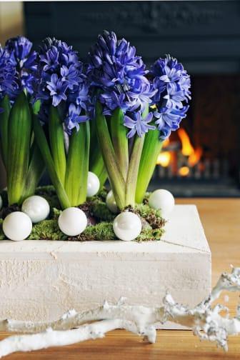 Blå hyacinter