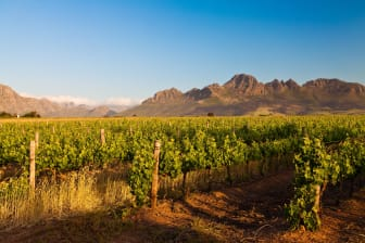 Stellenbosch vines