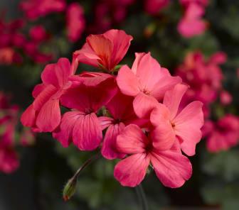 Pelargon Caliente Rose