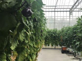 Auberginer i växthuset.jpg