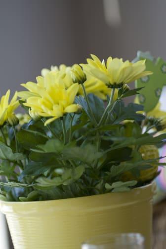 Krysantemum påsk