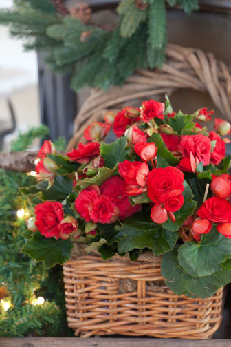 Begonia x hiemalis 'Baladin' och 'Grace'