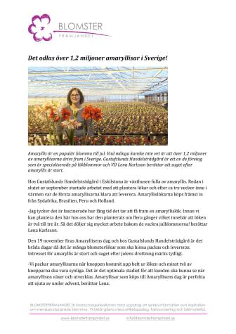 Det odlas över 1,2 miljoner amaryllisar i Sverige!