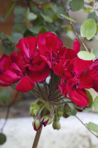 Pelargon 'Velvet Red' close up.