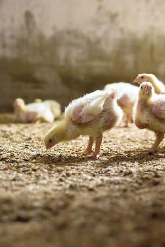 Kycklingar som byter fjäderdräkt