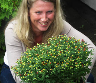 Plantering av bollkrysantemum