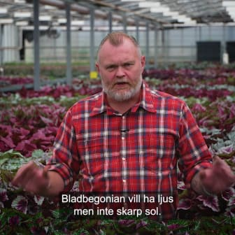 Trädgårdsmästaren_tipsar_bladbegonia_1x1