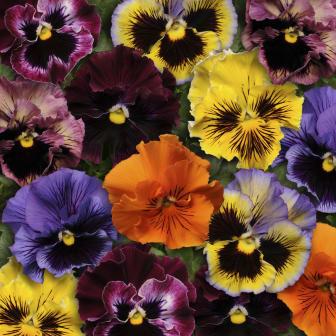 Viola x wittrockiana 'Frizzle Sizzle'