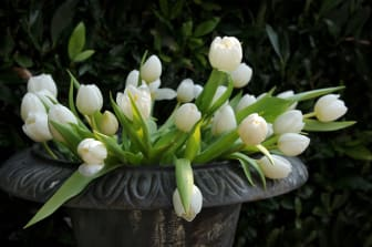 Tulpaner till alla helgons dag
