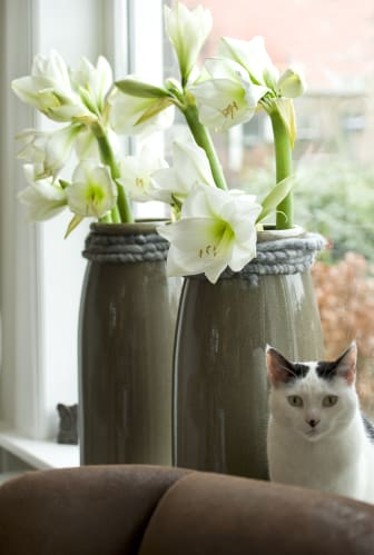 Vita amaryllis i fönster