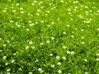 Hav av narv, Sagina subulata 'Irish Moss'