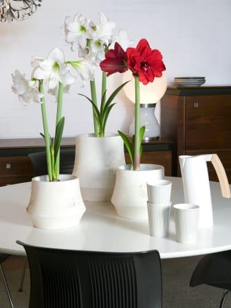 Amaryllis arrangemang i vitt och rött