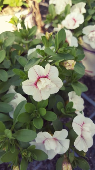 Fylldblommande småpetunia, Calibrachoa Uno_DoubleWhitePinkVein
