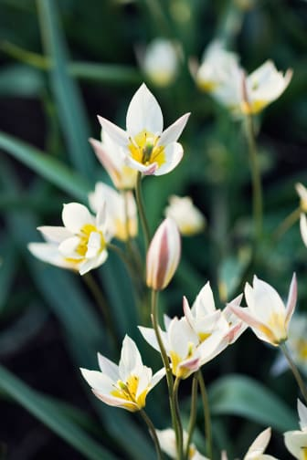 Dvärgtulpan, Tulipa turkestanica
