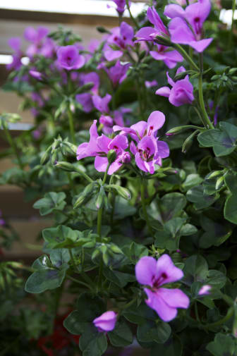 Hängpelargon Pelargonium peltatum Villetta-serien 'Lilac'
