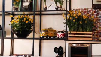 Bli glad av svenskodlade minipåskliljor