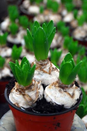 Hyacinter i plastkruka