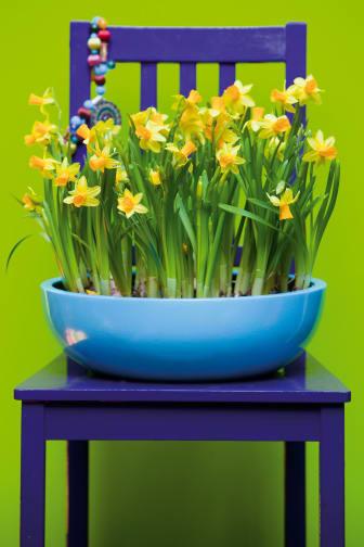 Narcissus 'Tête-à-tête' på stol