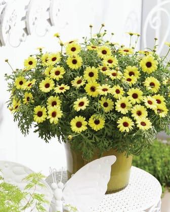 Argyranthemum-frutescens-Grandaisy-Bright-Yellow_32702_1