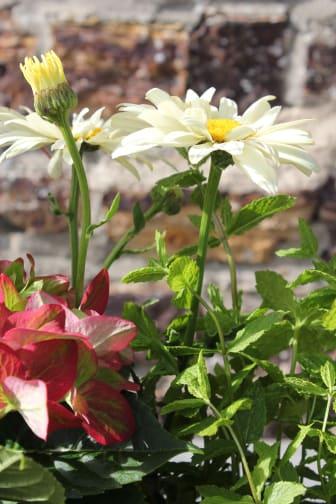 Sensommarplantering med trädgårdsfägring