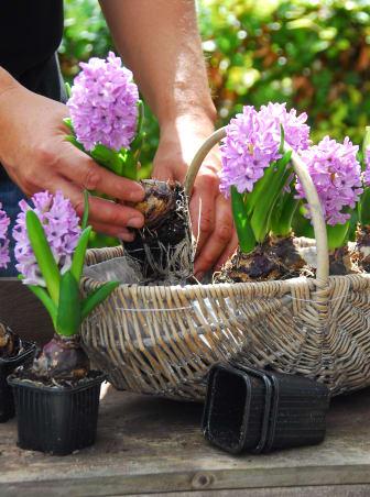 Hyacinter i korg