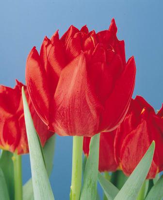 Nordisk planteringsdag - tulpanen Abba