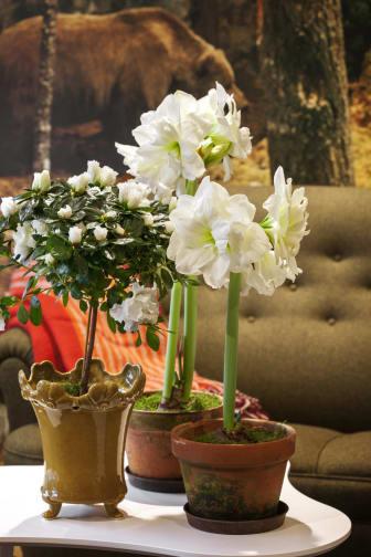 Azalea på stam tillsammans med vita amaryllisar.